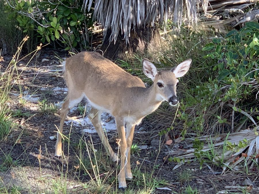 Day 2 Marathon to Stock Island with side trip to Nat'l Key Deer Refuge-57.5 miles